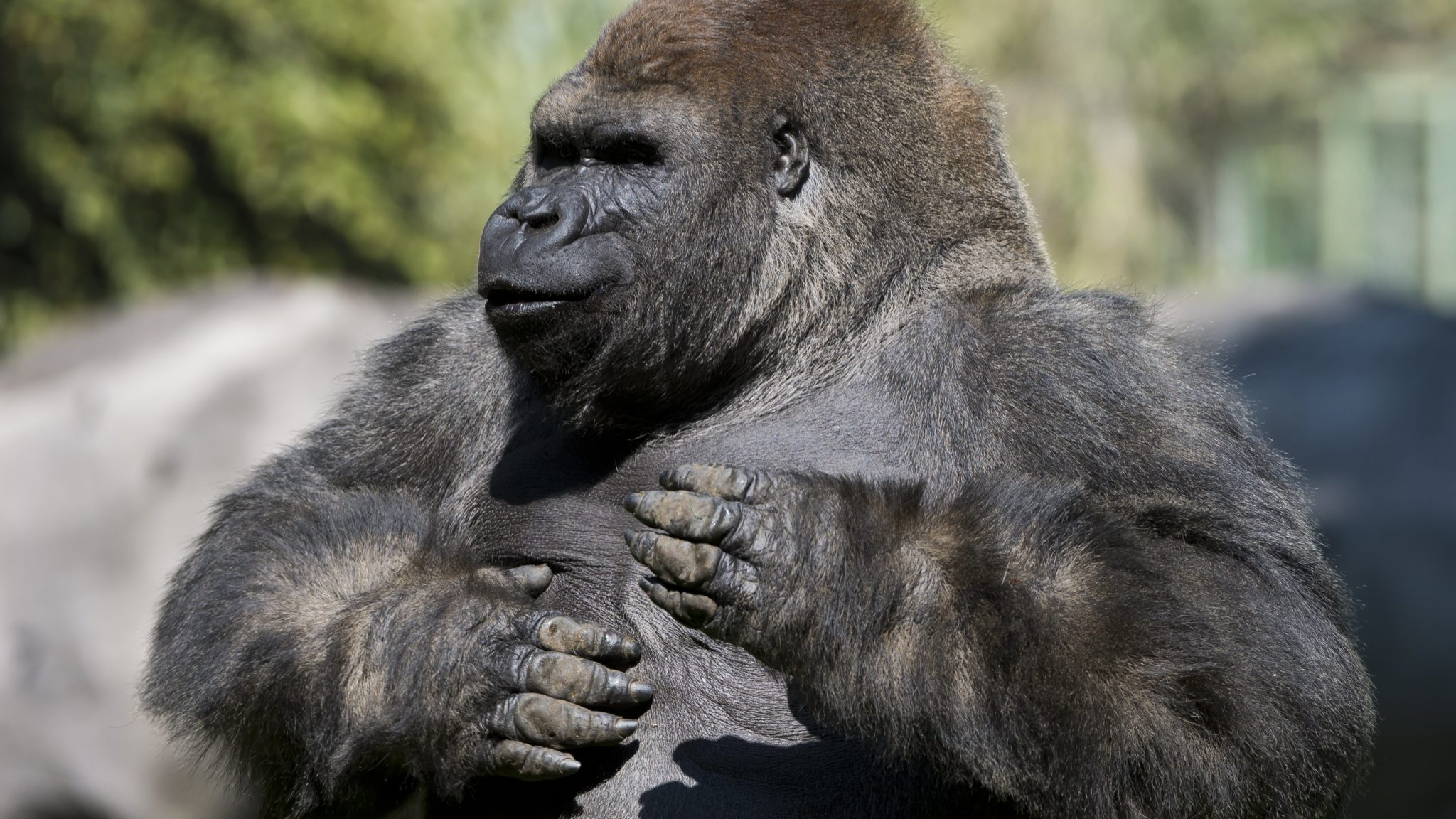 Gorilla, Mexico. Credit: OMAR TORRES/AFP/GETTY IMAGES